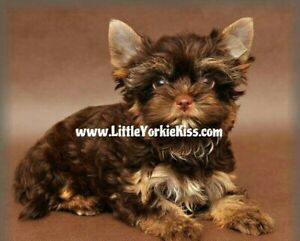 Yorkie | Adopt Dogs & Puppies Locally in British Columbia