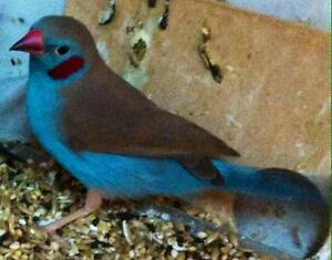 finches for sale Wallan Mitchell Area Preview