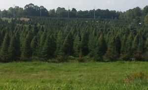 Beautiful Evergreens for Sale