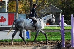 17 hh grey gelding for part board