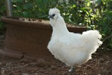 Silkie, polish, Pekin, Naked Neck and farmyard hens Boonara Gympie Area Preview