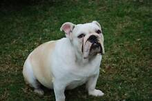 NOT FOR SALE - Looking for long term boarding for my Bulldog(6mth Joondalup Joondalup Area Preview