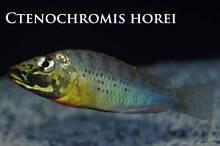 Ctenochromis Horei breeding colony Ormeau Gold Coast North Preview