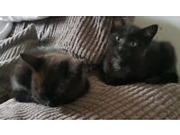 1 black female kitten ready for their furever homes