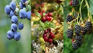 3 Mixed Fruit Bushes - Cranberry, Blueberry & Blackberry Plants Ready to Fruit!