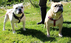 Two Bully Breed Dogs