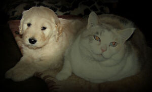 Goldendoodles F1 Teddy Bears, Healthy Happy Family Pets