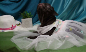 Rare Chocolate CKC Registered French Bulldog Puppies