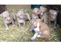 American bulldog cross puppies