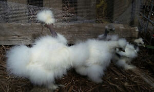 flock of Silkie show girls