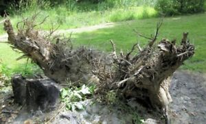 ash stump and roots