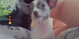 T-Cup Chihuahua Puppy