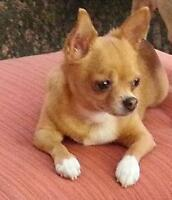 "Adult Female Dog - Chihuahua: ""Babee"""