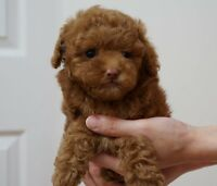 Red Tiny Poodle