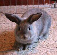"Baby Female Rabbit - Bunny Rabbit: ""Limerick"""