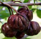 Plum Plant Fruit Plants