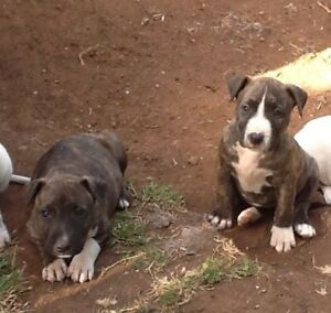 3   x bull terrier puppies