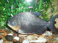 Large Pacu, FREE to home with large tank