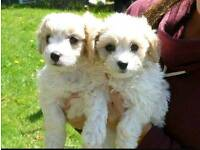 Gorgeous gold and white cavapoo puppies