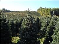 Beautiful non drop christmas trees forsale!!!!