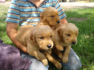 Golden Retriever | Adopt Dogs & Puppies Locally in Manitoba