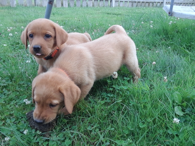 Red Fox Lab Pups For Sale