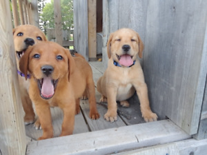 Red Fox Labs | Adopt Dogs & Puppies Locally in Canada | Kijiji