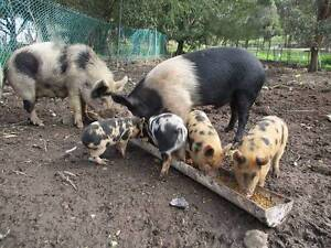 """Miniture"" Free Range Pigs for Sale Golden Plains Preview"