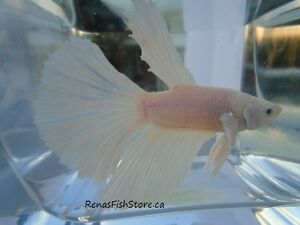 Platinum White Super Delta Bettas Cornwall Ontario image 1