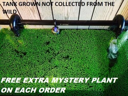 1000+ duckweed indoor grown live organic aquarium  BUY2GET1 FREE extra plant