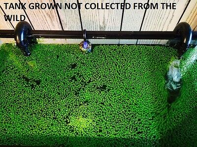 SNAIL FREE 1000+ duckweed indoor grown live organic floating aquarium plants-