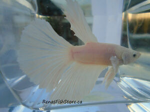 Black Orchid Halfmoon Plakat Bettas (Male) Downtown-West End Greater Vancouver Area image 10