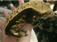 Crested gecko pinstripe harly