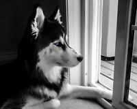 Husky Looking for New Home