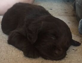 **4 LEFT** Gorgeous SPROCKER puppies