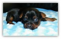 CKC Registered Male Yorkie Puppies