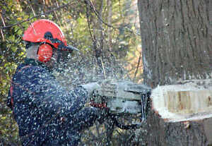 Chainsaw services/tree removal for hire, great rates! Williams Lake Cariboo Area image 1