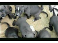 Staffy staff Staffordshire terrier pups for sale