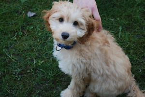Cockapoo Puppies ~ Non shedding Hypoallergenic ~ Only 1 left