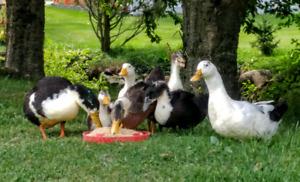 Canards mâles et coq