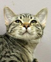 "Baby Female Cat - Domestic Short Hair-Tabby: ""Biscuit"""