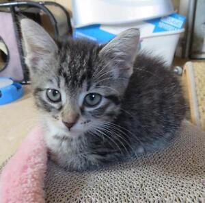 "Baby Female Cat - Domestic Short Hair-Tabby (Brown): ""TORY"""