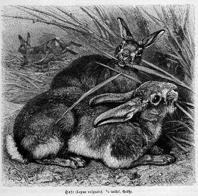 Feldhase  HASE Lepus Vulgaris Holzstich von 1891 NAGER