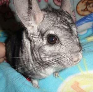 "Adult Male Small & Furry - Chinchilla: ""Keyston"""