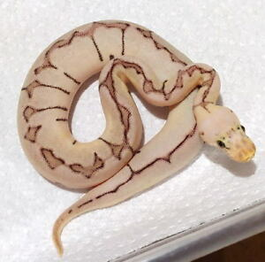 Baby and Breeder Ball Pythons Available