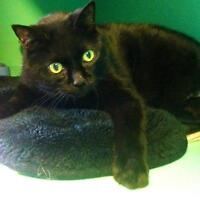 "Adult Male Cat - Domestic Short Hair: ""Claudio"""