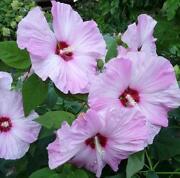 Hardy Hibiscus Seeds