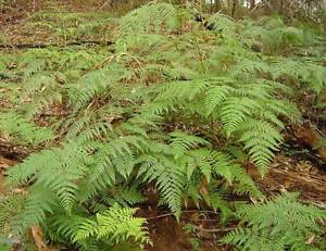 WANTED: BRACKEN SPRAYING Sandford Clarence Area Preview