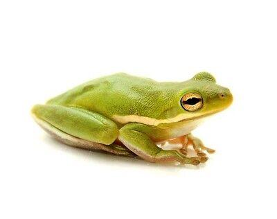 5 20 Live Tadpole Golden Green Tree Frog Treefrog Aquarium Koi Pond Tropical Pet
