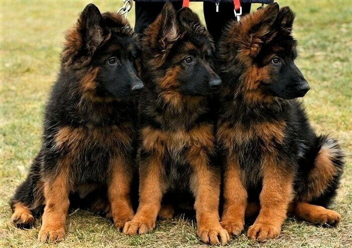 Buy Long Haired German Shepherd Puppies For Sale Near Me In Philippines